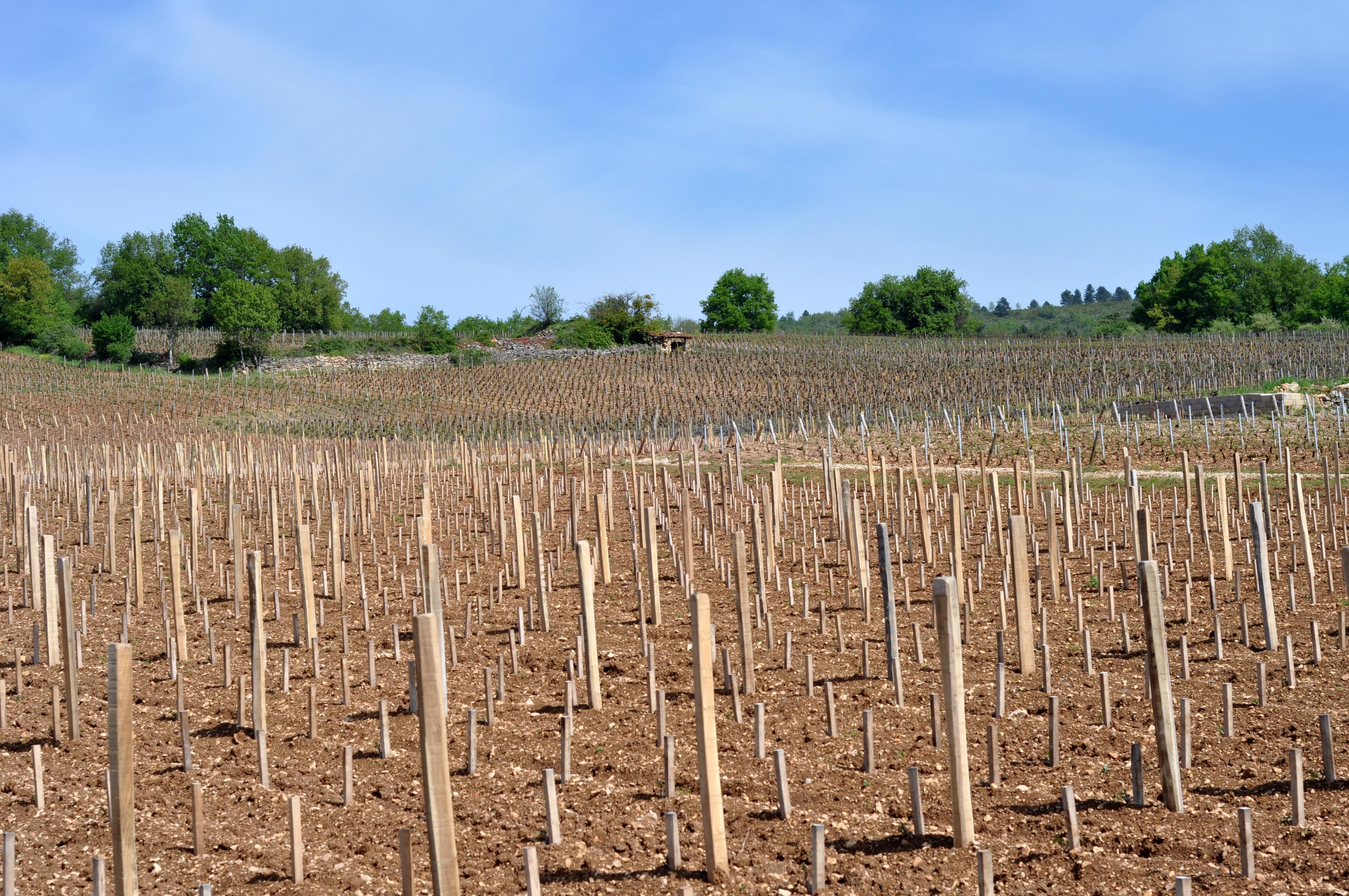 En Bourgogne, les champs de piquets sont signes de vie