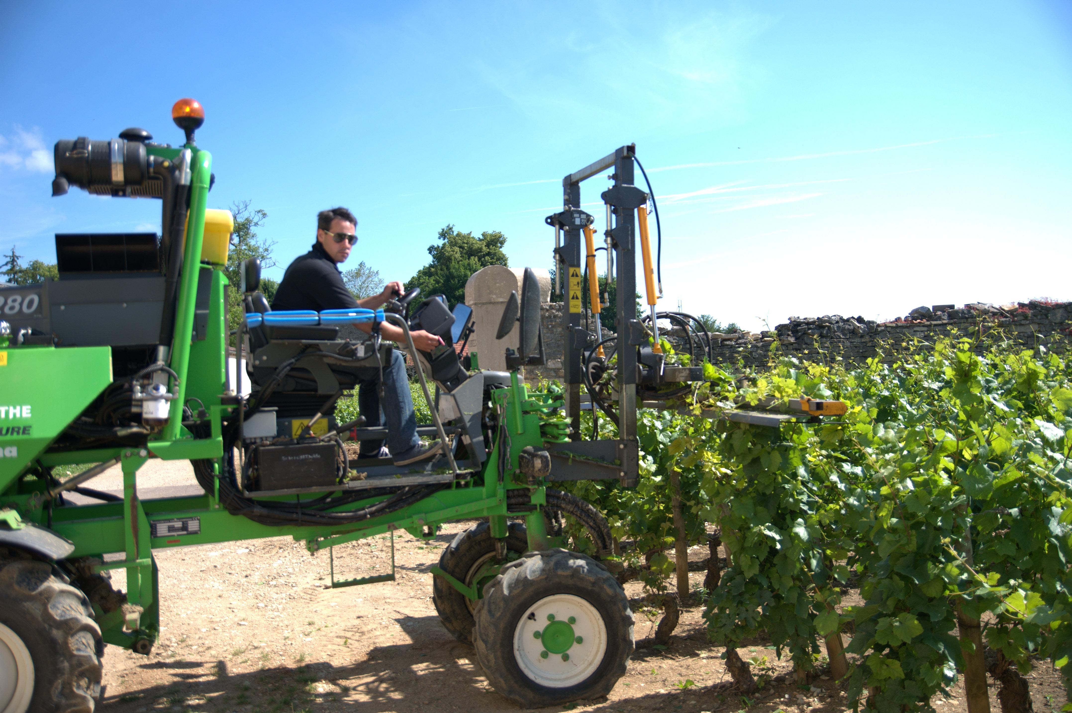 Le rognage, (ici début juillet) est l'action de supprimer les parties supérieures de la vigne