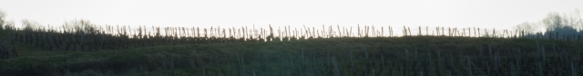 à la Crête surgissent les vignes